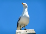 GIBRALTAR / GULL ON HIGH
