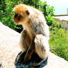 GIBRALTAR / MONKEY BUSINESS